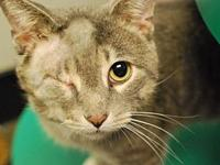 Kevin's story Kevin is a gray tabby who is about two