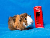 Kevin is an older guinea pig whose owners took him to