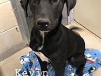 Kevin 12269's story Kevin is a small 2 yr old lab mix.