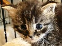 Khaki's story Khaki is a DMH Black Tabby Male with a