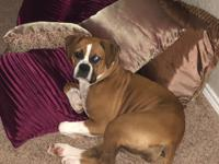 Khaleesi is a 6 month old bundle of energy Boxer puppy.