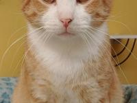 Khan is a handsome orange and white tabby guy, who