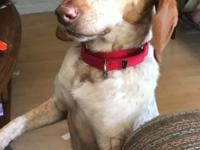 Khloe is a Redtick beagle/foxhound, 6 years old and