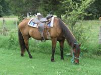14 year old, 14 HH bay mare- extremely safe- can be