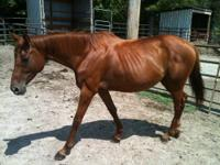 9 year old beautiful chestnut TB mare for sale. 15.1