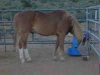 Amigo is a 16 year old sorrel gelding. He ties, bathes,