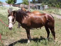24 year old sorrel tobiano paint mare. This horse is