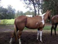 KIDS HORSE ANYBODY CAN RIDE HER SHE IS SOOO SWEET. MY