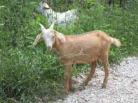 kiko goat Classifieds - Buy & Sell kiko goat across the USA