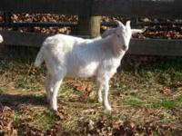 For sale 100% New Zealand Purebred Kiko buckling 5
