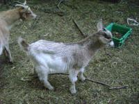 Purebred Bucks were born in March/April of 2010. Bucks