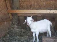 For sale Kiko goat, {wether} 30lb.-40lb. $100 .....