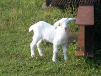 For sale Purebred Kiko goats $300 ..... a few % for
