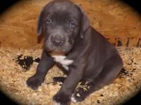 Blue Female Cane Corso Puppies (AKC) American Kennel