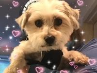 Kilo is an adorable, possibly purebred Maltese,