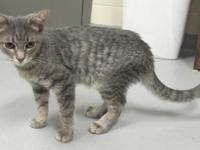 Name: Kimber Primary Breed:Domestic Short Hair Gender:
