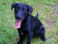 Kimber's story Kimber is a loving labrador puppy. At