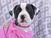 My story The Boxer-mix pups are available for adoption