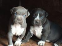 King bully pups don't miss out on out on this new