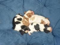 I have ACA 4 King Charles Cavalier puppies for sale. 3