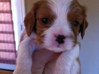 Pure Bread King Charles Cavalier puppies for sale.