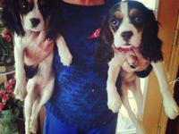 Meet Lacy and Macy. they are tri-colored Cavalier king