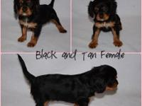 I have 4 King Charles Cavalier young puppies for sale,