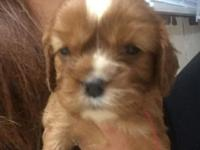 5 kings charles cavalier puppies for sale, 3 females 2