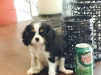 We have two lovely female King Charles registered