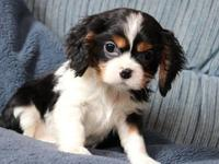Here comes darling Cavalier puppy ready to put a smile