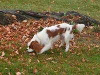 Hi, I have a young male king charles spaniel that I