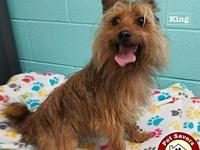 King - Fee $125's story I'm a 1 1/2 year old Yorkie