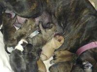 12 beautiful baby King Fish Pit Bull Puppies Born