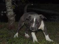 MALE BLUE & WHITE pit bull puppy. He is 'PR UKC