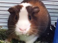 King Willy is a young sweet guinea pig, currently in a