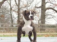 PET DOG QUALITY GIRL - $500. black brindle. d.o.b.
