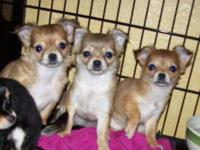 Three beautiful long haired Chihuahua female puppies