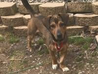 Kirby is a sweet 4 year old Dachshund mix. He weighs 31
