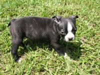 Kiro is a cute as can be seal brindle AKC registered