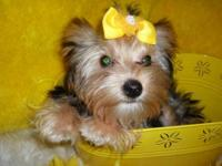 Kirsten is a darling little Parti Yorkie female pup. A