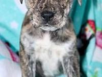 Kit Kat's story I am a Boxer/Australian Shepherd Mix. I