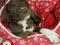 KitKat - Fee $175's story I'm an eight week old Lab/Pit