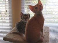 Two 12 week old kittens aviailable for adoption,