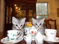 8 week old shorthaired foster kittens,