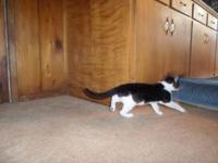 I have a darling 8 week old kitten tuxedo kittycat for