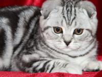 two beautiful Scottish Fold babies are looking for a