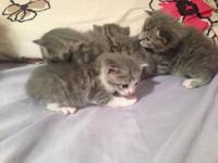 I have four blue kittens up for adoption. One male and