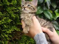 Kittens friendly sweet Bengal mix, Father is a purebred