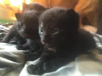 Beautiful kittens will need homes in a few weeks 3