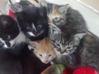 Very cute half Siamese kittens healthy active ready for